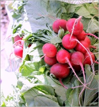 Radishes in Sunlight, Courtesy Dena T Bray Ⓒ