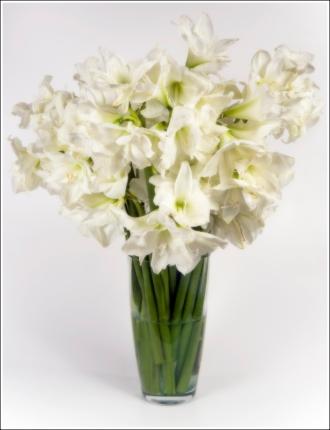 Amaryllis , White(Hippeastrum)
